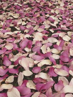življenje se osuje │ cvetovi magnolije │ gnijejo na tleh