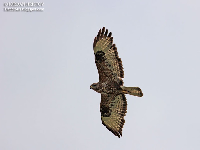 Common Buzzard photography in Bulgaria