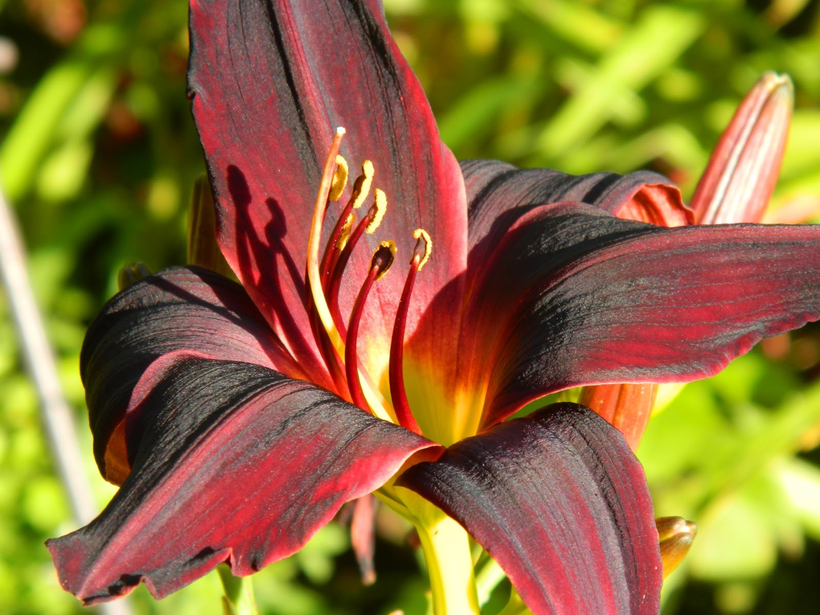 Foothills of the great smoky mountains flowers food a lil bird our lilies are all blooming including this black one that looks mostly burgundy to me izmirmasajfo