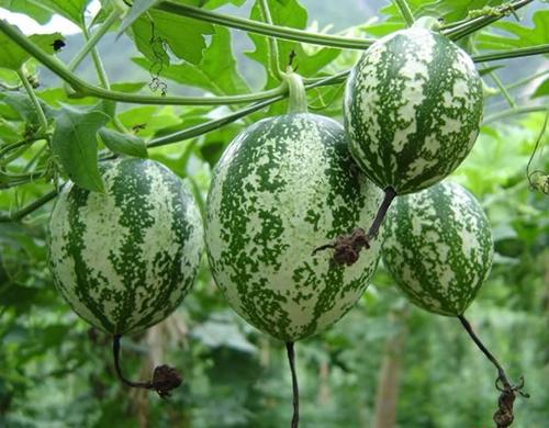 Trichosanthes kirilowii Maxim (Fam. Cucurbitaceae).