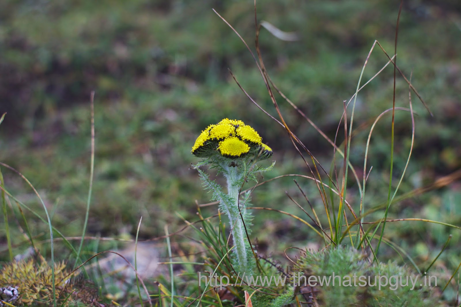 Yellow-Flower-Spider-Roopkund-Trek-With-India-Hikes-Day-2