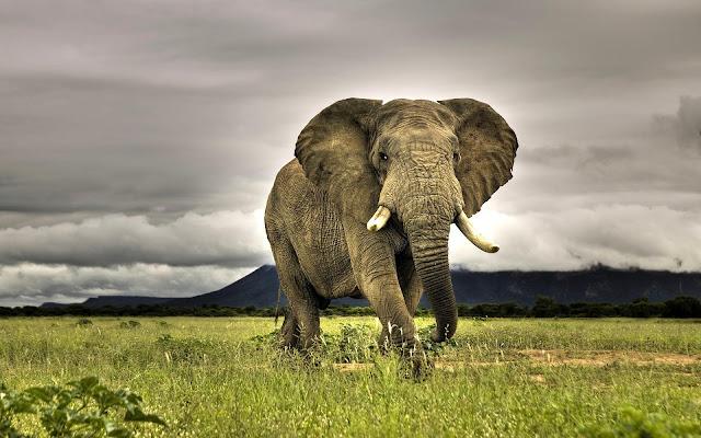 Foto van een grote olifant in de aanval