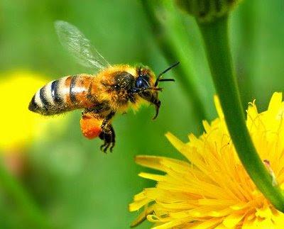 foto lebah - gambar hewan - foto lebah