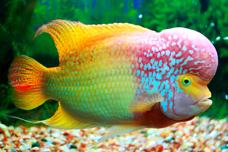 the jungle store the flowerhorn fish