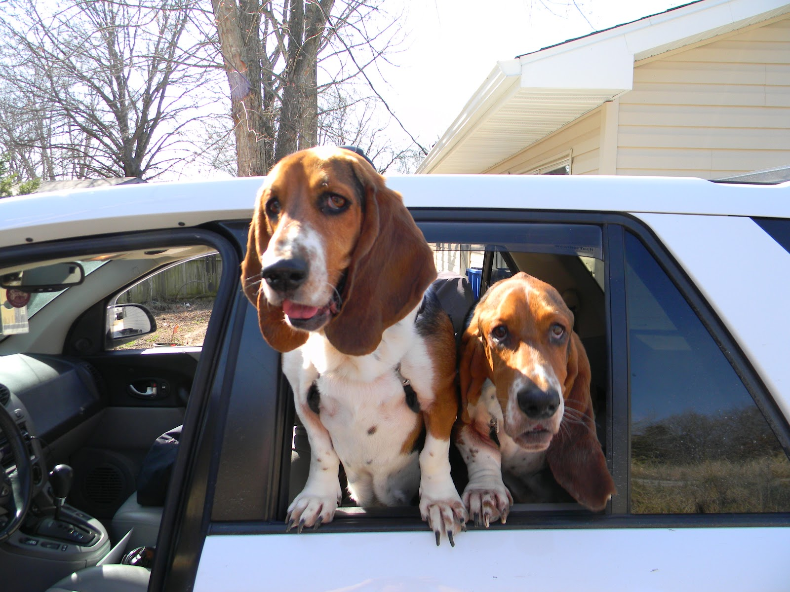 Jowls of Fury: Beauregard the Dignified Southern Basset ...