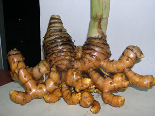 Lempuyang Emprit (Zingiber amaricans)