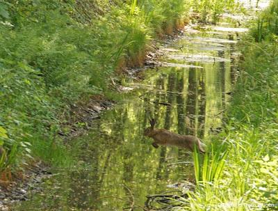 springend konijn bossen Weldam