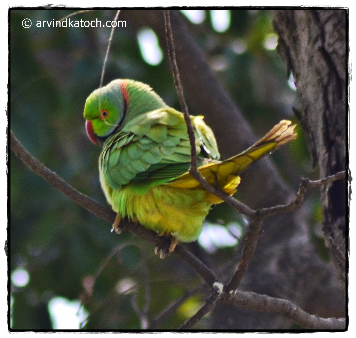 Parakeet, Parrot, Rose-ringed,