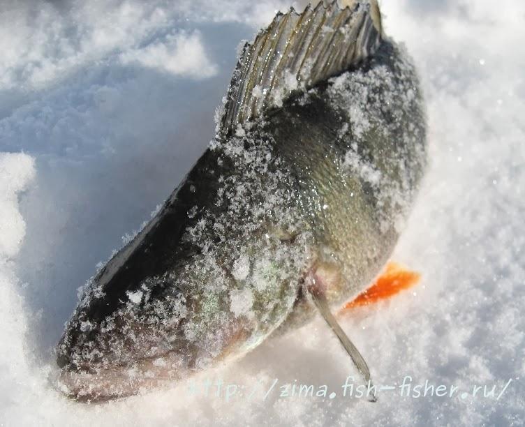 Зимняя рыбалка. Окунь