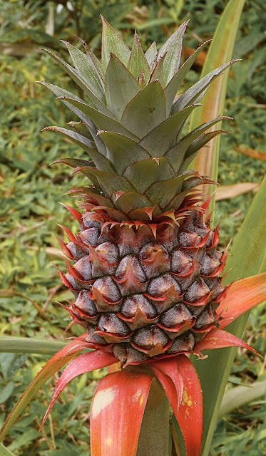 pineapple,ripening,colourful,Philipines