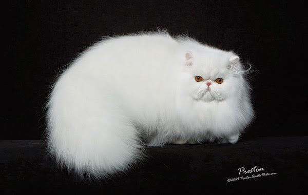 Giống mèo ba tư.