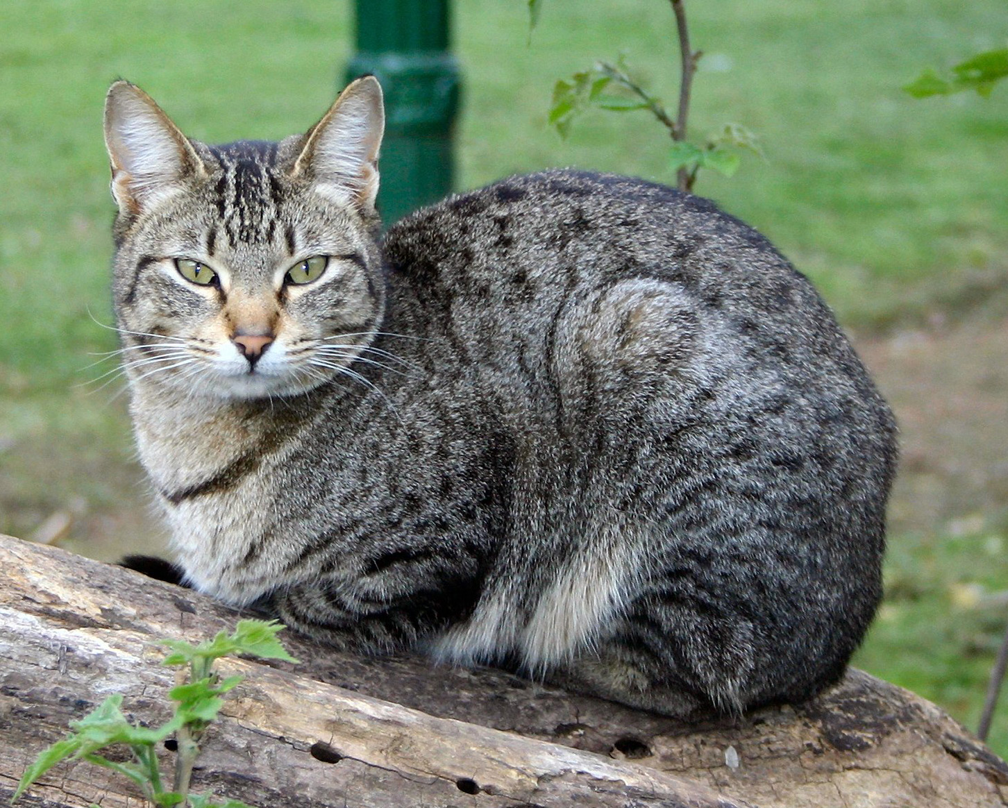 Domestic Tiger Cat Breed