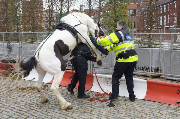 Cavalo A Tentar Enrabar Um Polícia