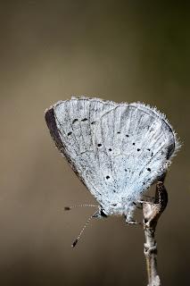 Para ampliar Celastrina argiolus (Náyade) hacer clic