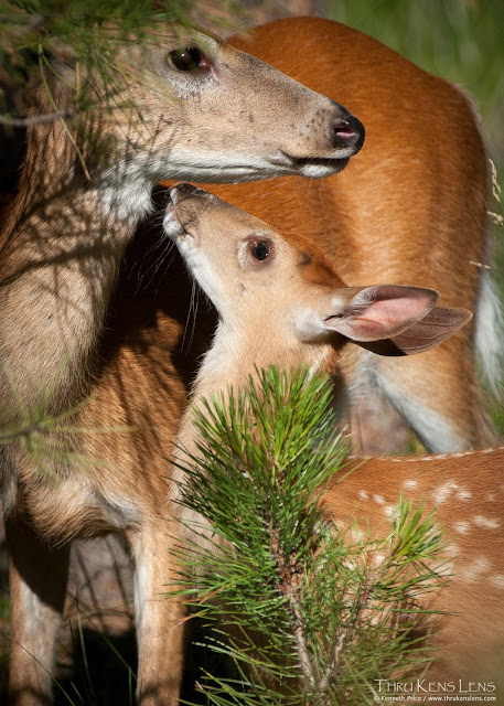 White-tail deer with fawn