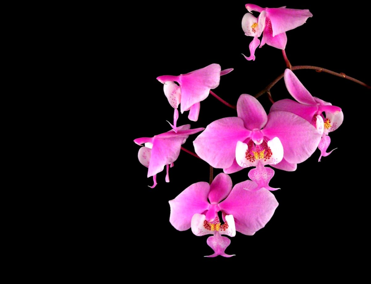 Pink Flower Black Background Wallpapers Gallery