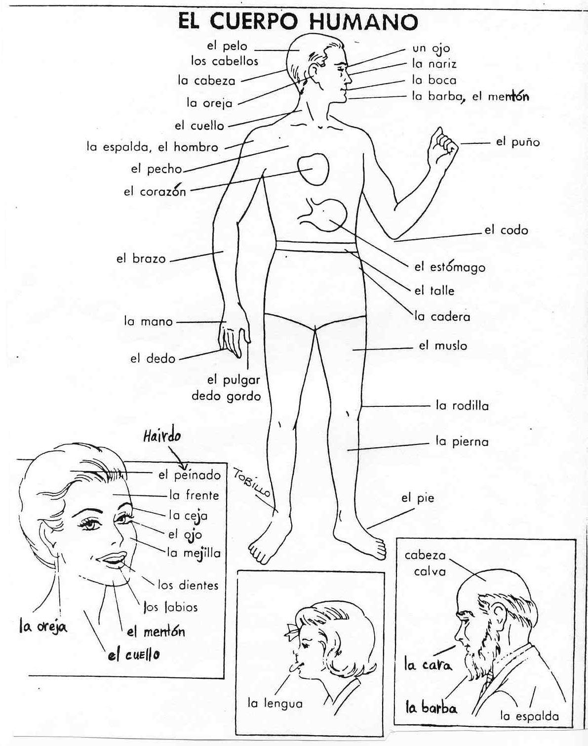 Dibujos Para Colorear Del Cuerpo Humano