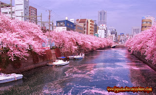 guguran bunga sakura di sungai