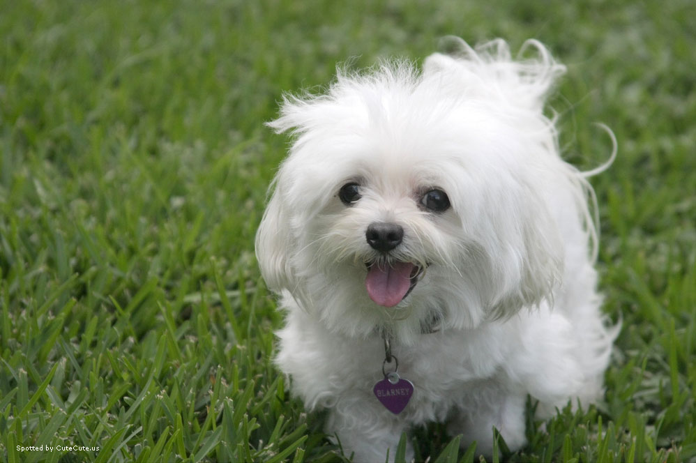 Cute Cool Pets 4u Cute White Puppies Pictures