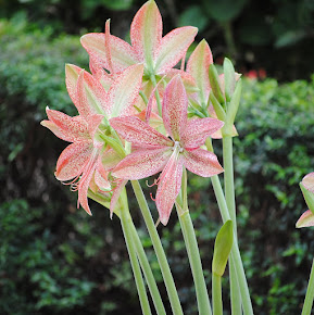Amaryllis snygg inte bara till jul!