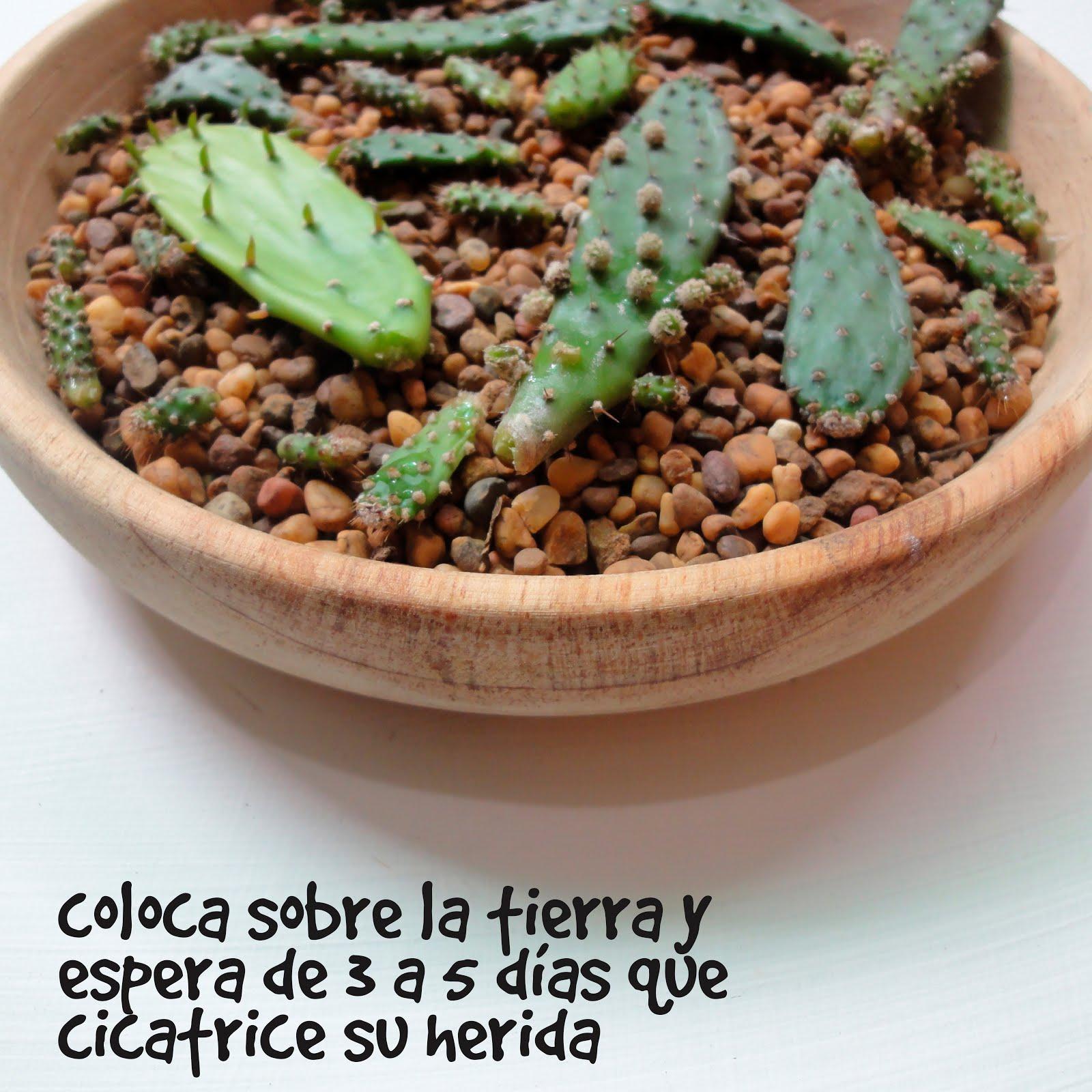 Multiplicaci n de cactus saperes for Como plantar cactus
