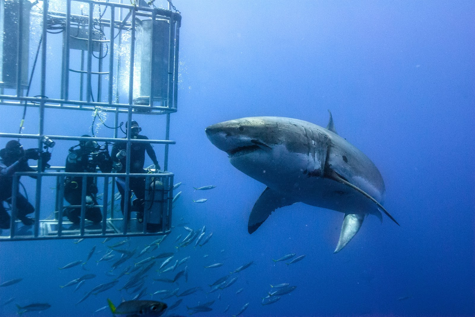 Deep Cage Diving In Isla Guadalupe From Great White Shark Photo By Luke Cresswell