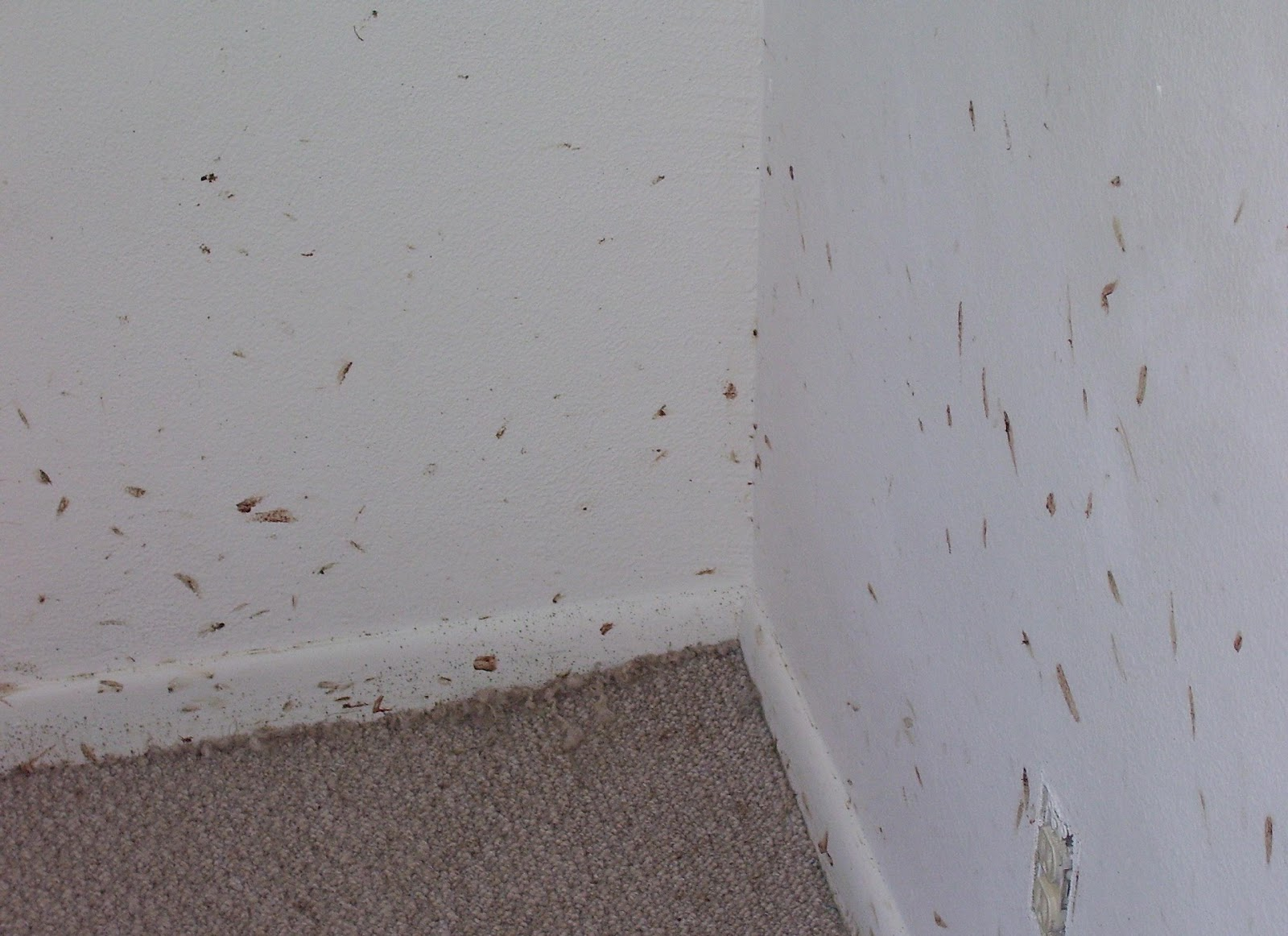 Can Bed Bugs Crawl On Carpet