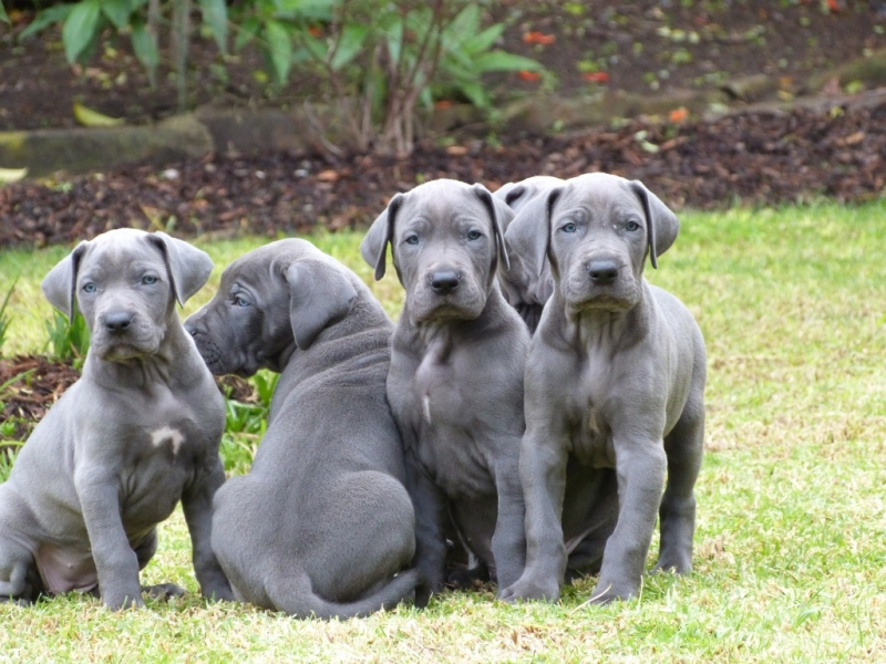 Great Dane Puppies~Tallest Dog breed in the World