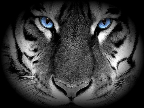 Amazing White Tigers With Blue EyesWhite Tigers With Green Eyes