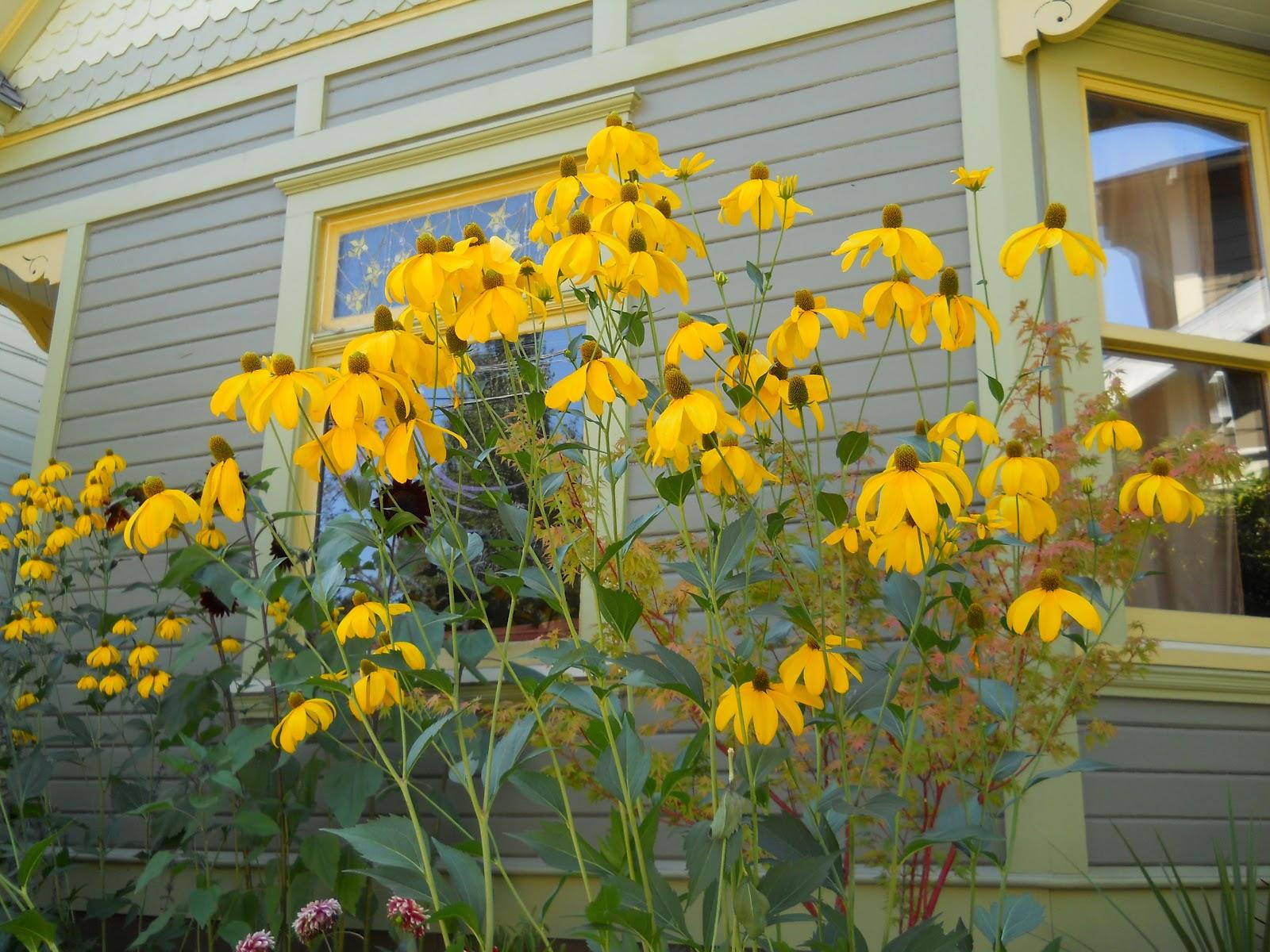Рудбекия: выращивание из семян, посев и уход за рассадой 5