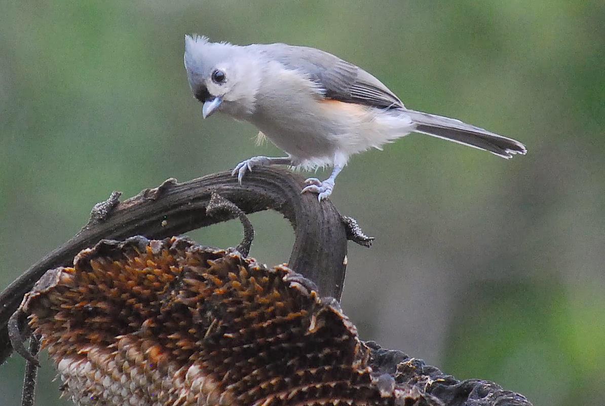 Terrell Daily Photo: Backyard Bird
