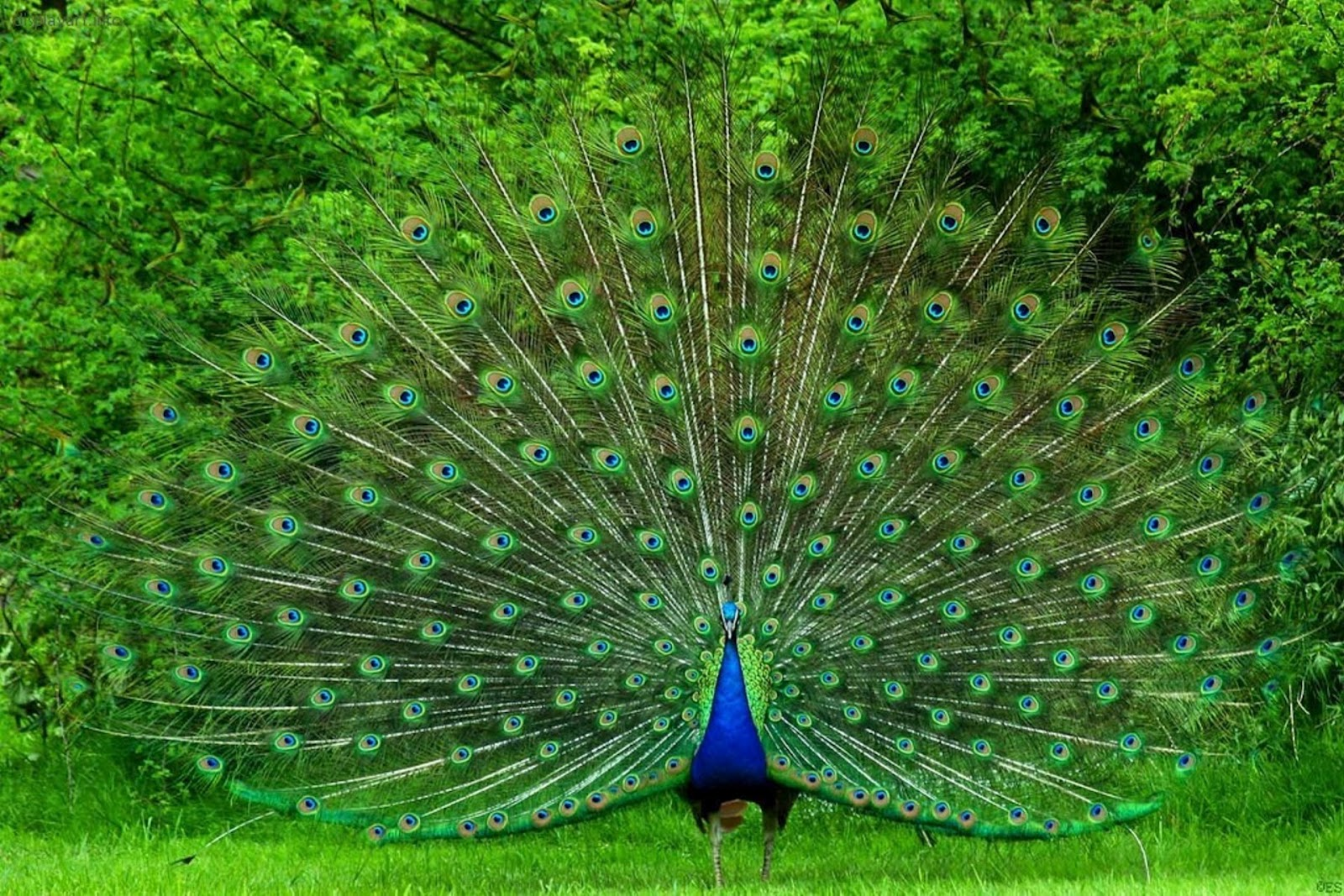 Most Beautiful WallpapersPeahen Wallpapers In HDPeahen Pics HDPeacock For DesktopWallpapers DesktopPeacock Mobile