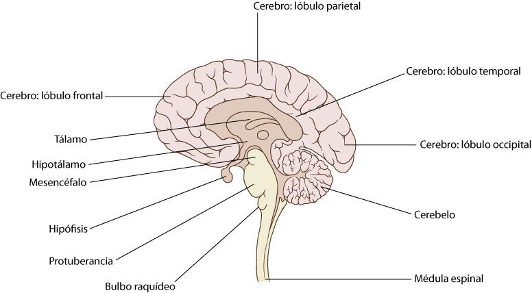 Atractivo Diagrama En Blanco Del Cerebro Modelo - Anatomía de Las ...