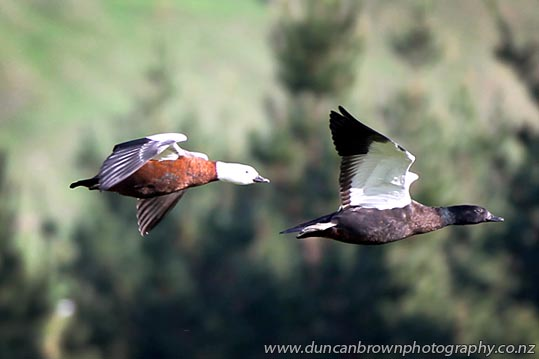 From left: Mrs and Mr Paradise Shelduck, Putangitangi,  generally mate for life, feeding and flying together, seen in Matangi Rd, Tukituki Valley, Havelock North photograph