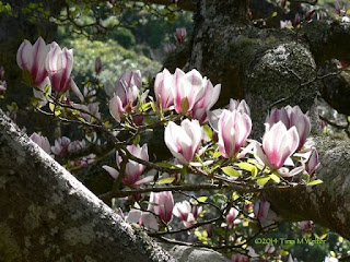 Magnolia blossoms, Wellington botanic garden, photo ©2014 Tina M Welter