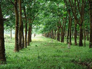 áp dụng chế phẩm sinh học vườn sinh thái lên cao su