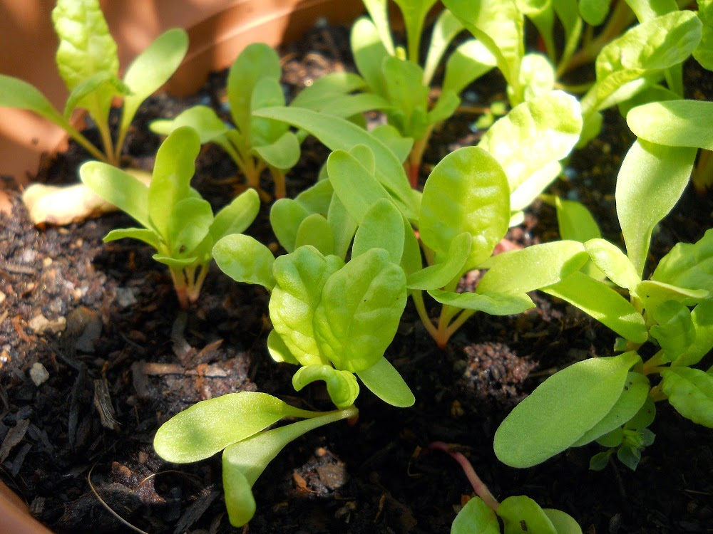 cultivar acelgas en huerto urbano
