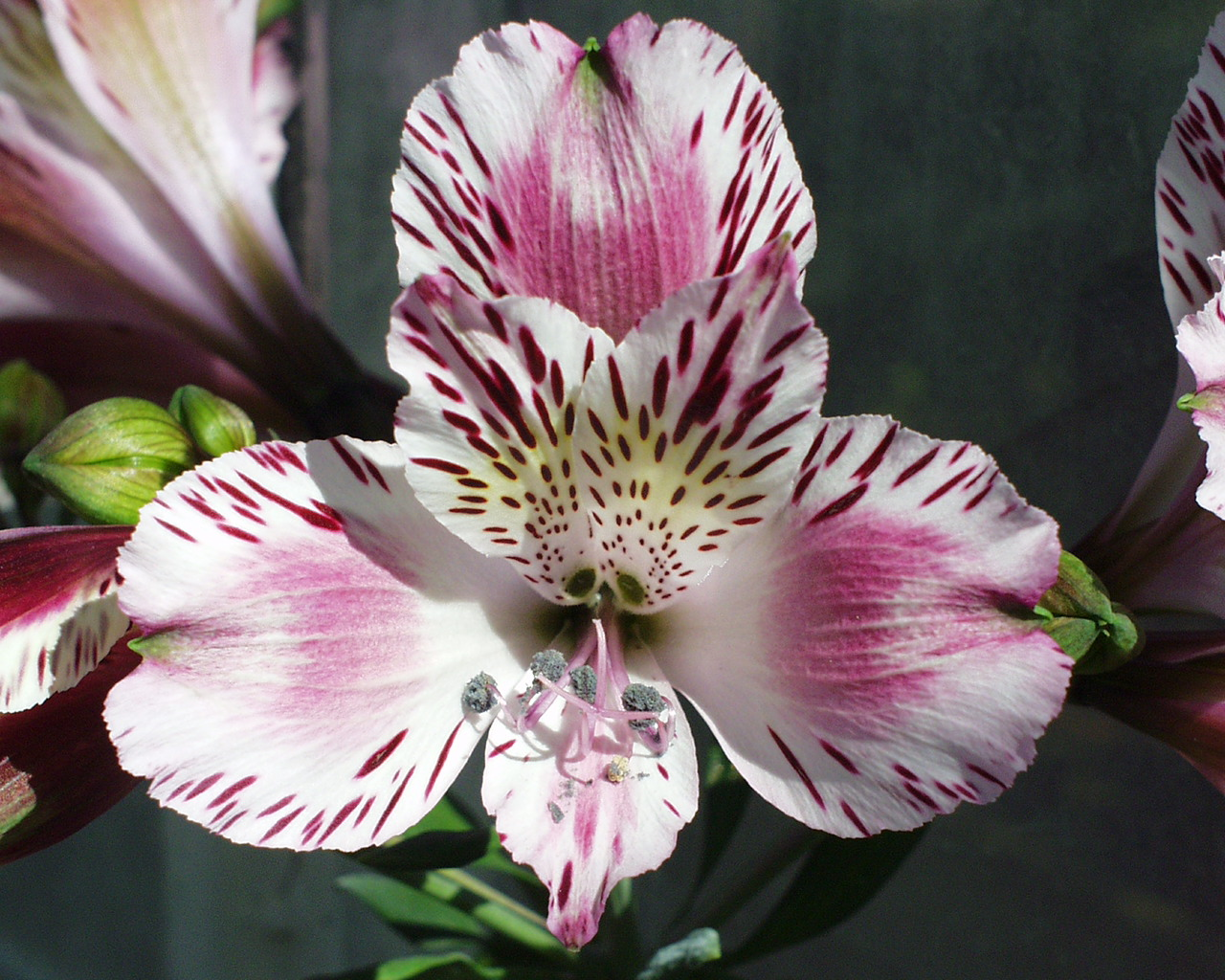 alstroemeria  the lily of the incas  kinds of ornamental plants, Beautiful flower