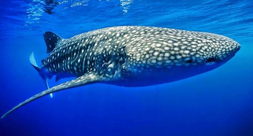 Tubarão Baleia - Maior peixe do mundo