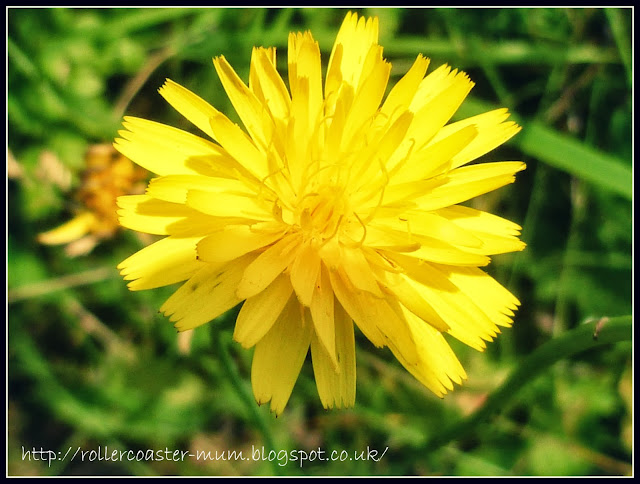 Hawkweed or Hieracium flower