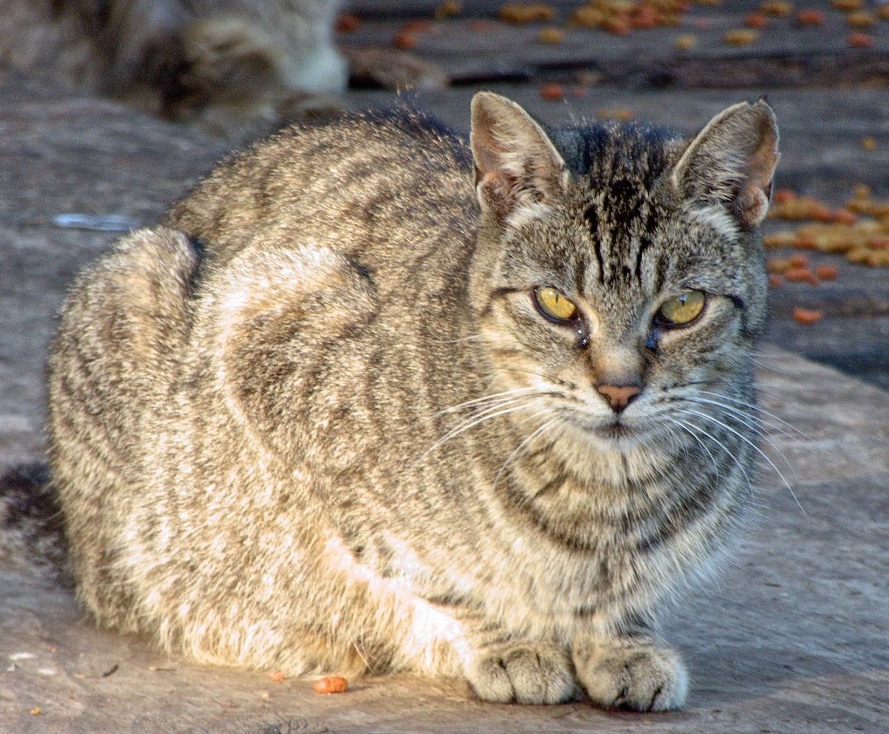 feral cat tabby mother
