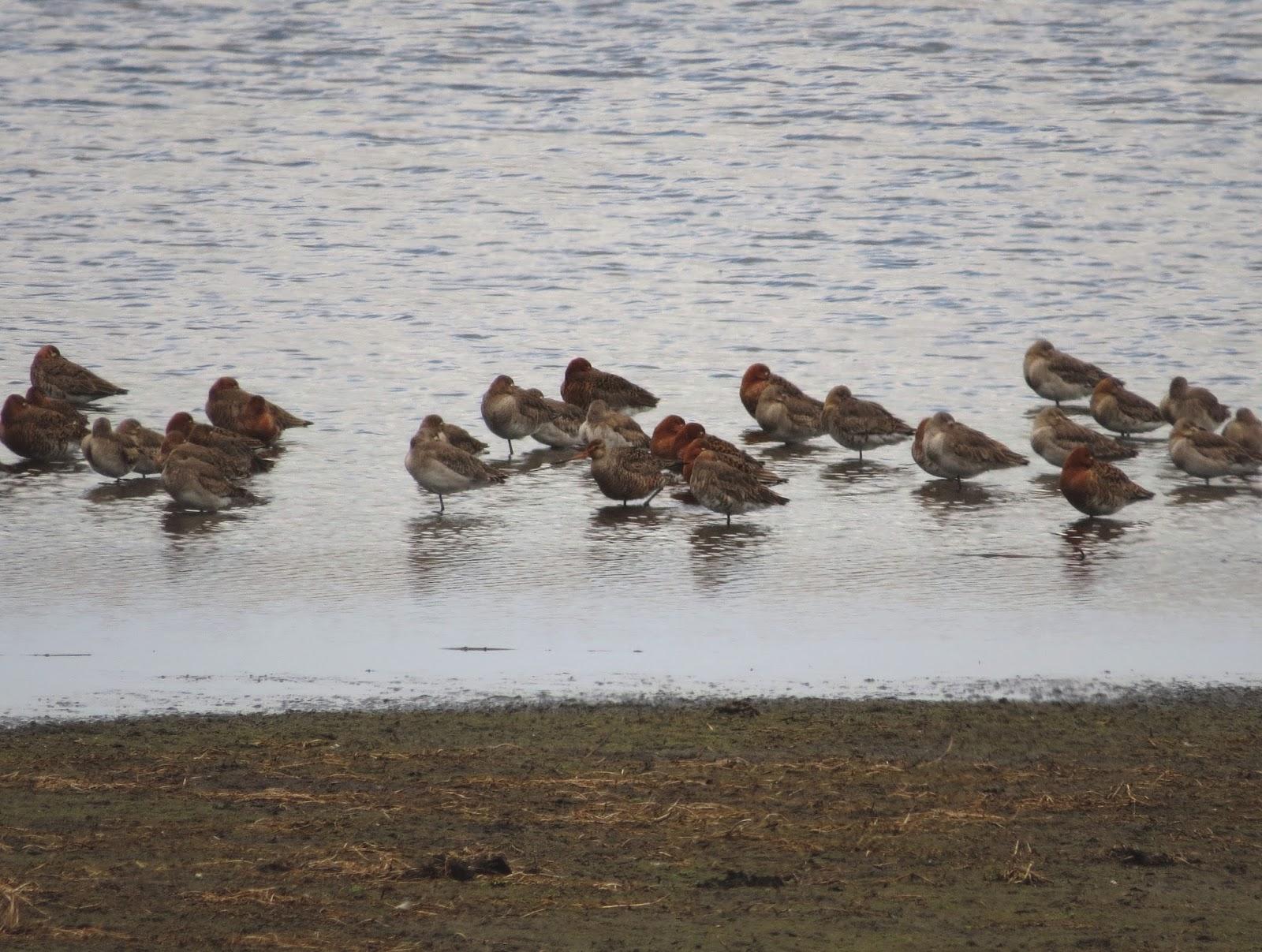 Hudsonian Godwit - Somerset