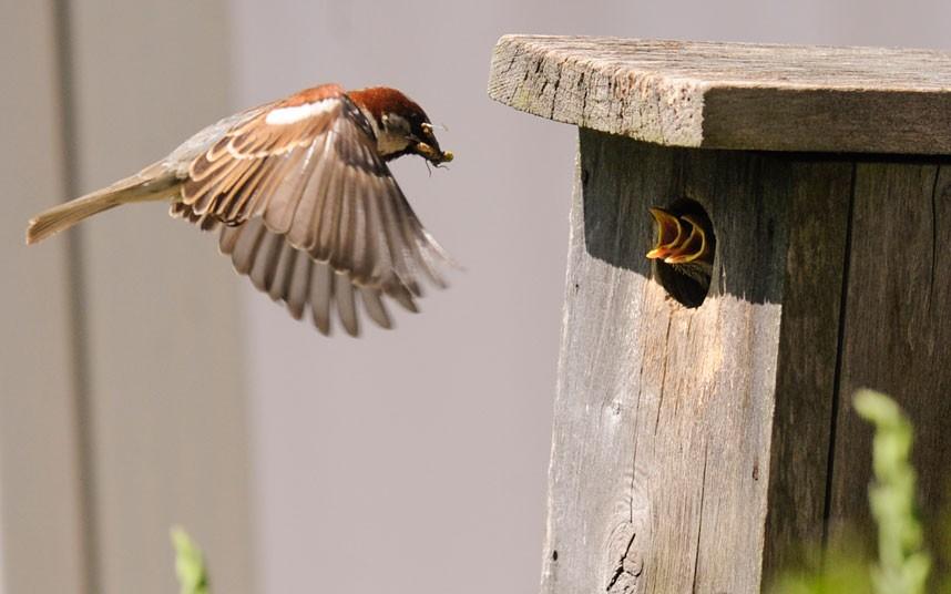 feeding sparrow