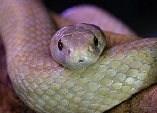 White Snake of Iwakuni, Yamaguchi