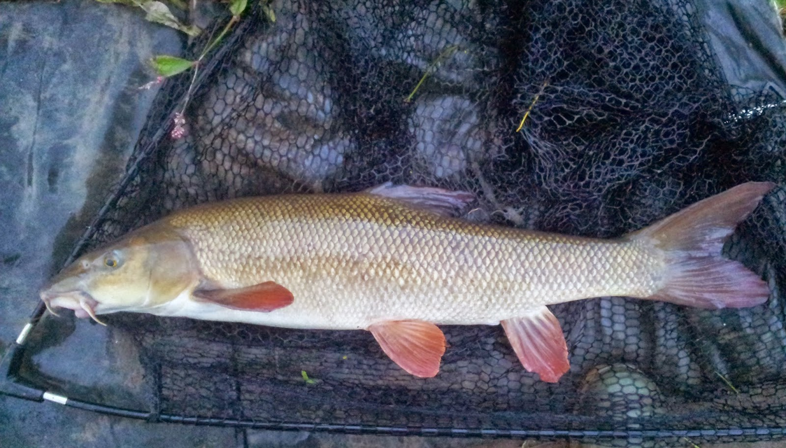 Fishy Business, an angler's journal.: September Barbel