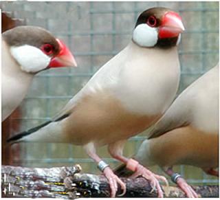 burung gelatik perbedaan mendasar burung gelatik jantan