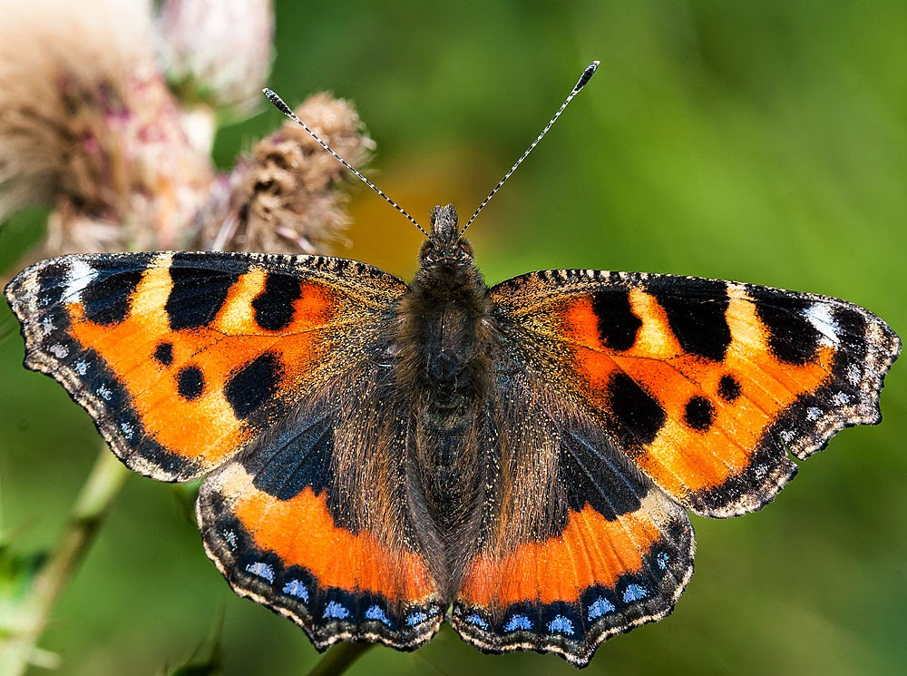 Small Tortoiseshell - Loughton Valley Park, Milton Keynes (2012)