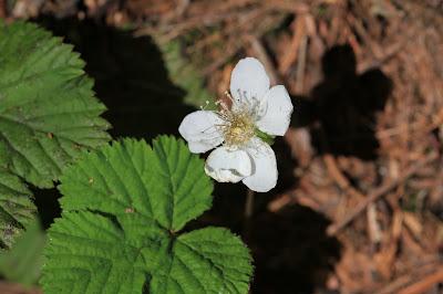Rubus lassiococcus (Dwarf Bramble)?