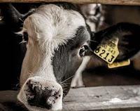 """""""Os órfãos do leite"""" - Uma investigação sobre a indústria leiteira da América do Sul"""