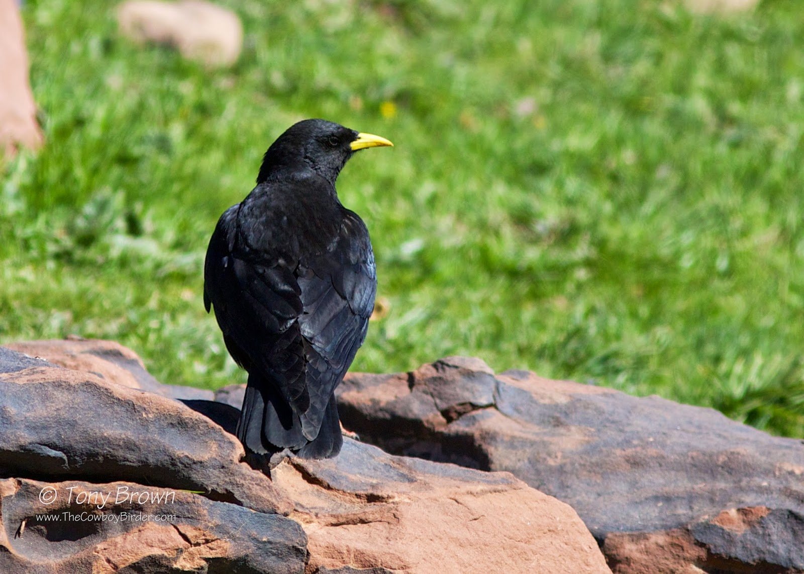 Oukaimeden, Morocco, Yellow-billed Chough
